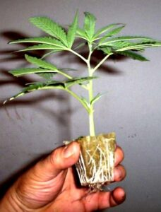A rooted cannabis clone