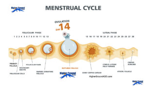 The Human Female Menstrual Cycle